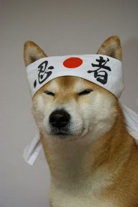 L'histoire et l'origine des Shiba Inu