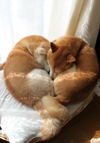Deux shiba en train de dormir et qui forment un cœur