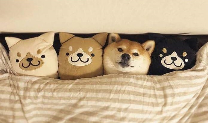 Un shiba inu dans le lit