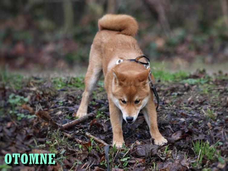 otomne élevage chien Shiba Inu